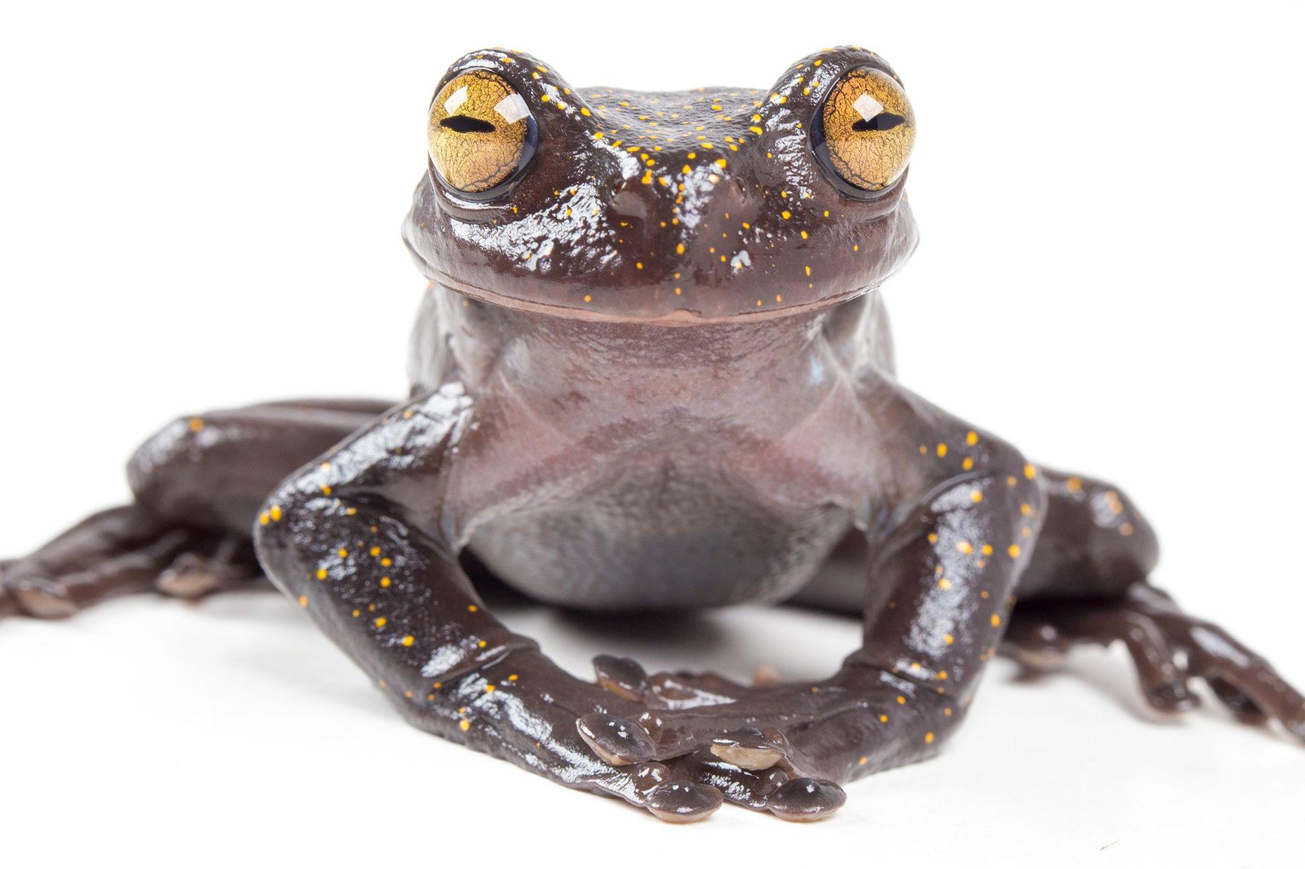Um adulto da recém-descoberta espécie Hyloscirtus hillisi parece sorrir para a câmera.