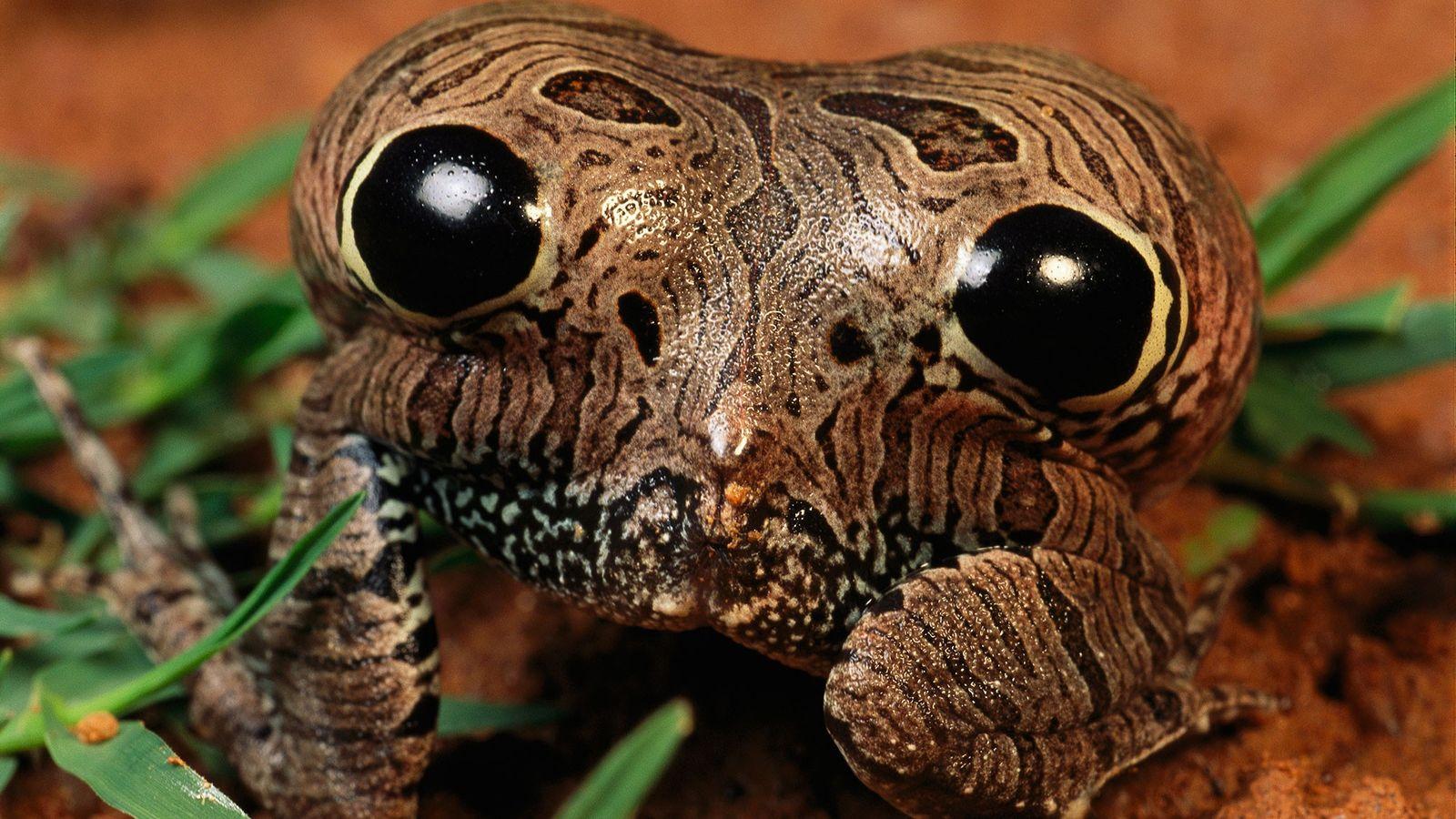 Uma rã-quatro-olhos infla a região posterior de seu corpo para assustar predadores com seus olhos falsos.