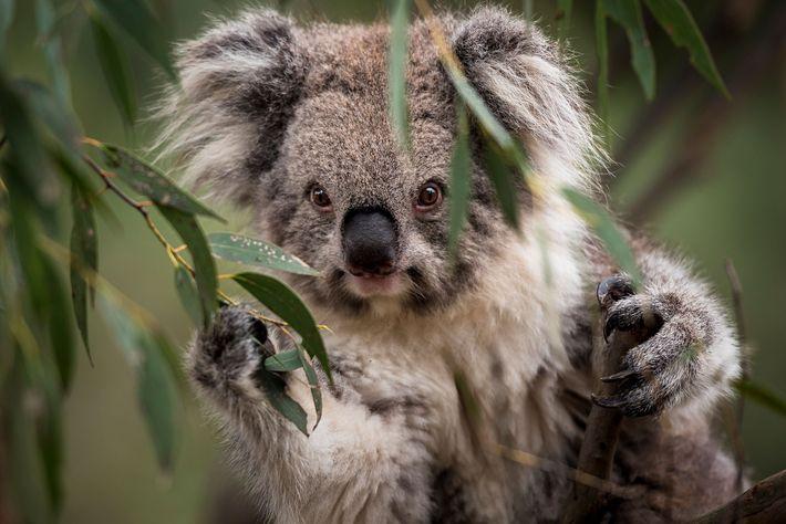 coalas-clamidia-vida-selvagem