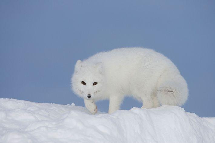 animais-dque-trocam-a-cor-da-pelagem-inverno