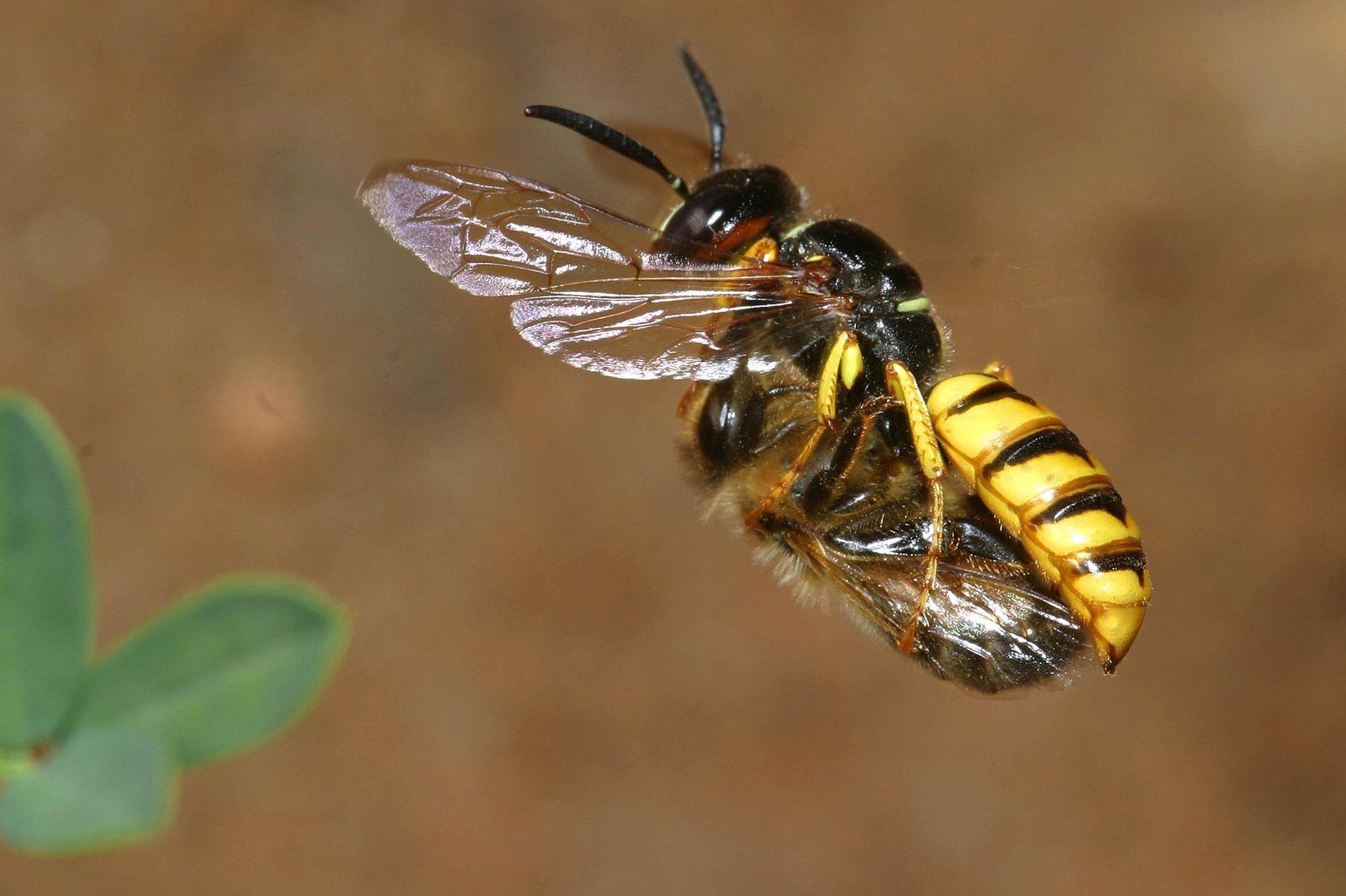 """Uma vespa """"lobo das abelhas"""" carregando uma abelha paralisada a seu ninho, onde ela porá ovos em sua vítima."""