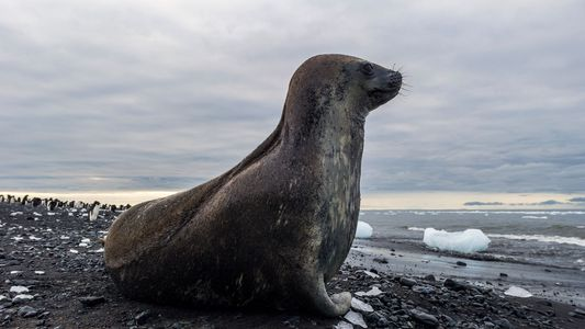 Como uma foca da Antártida foi parar em praia do Brasil