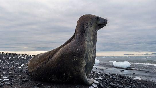 foca-de-weddel