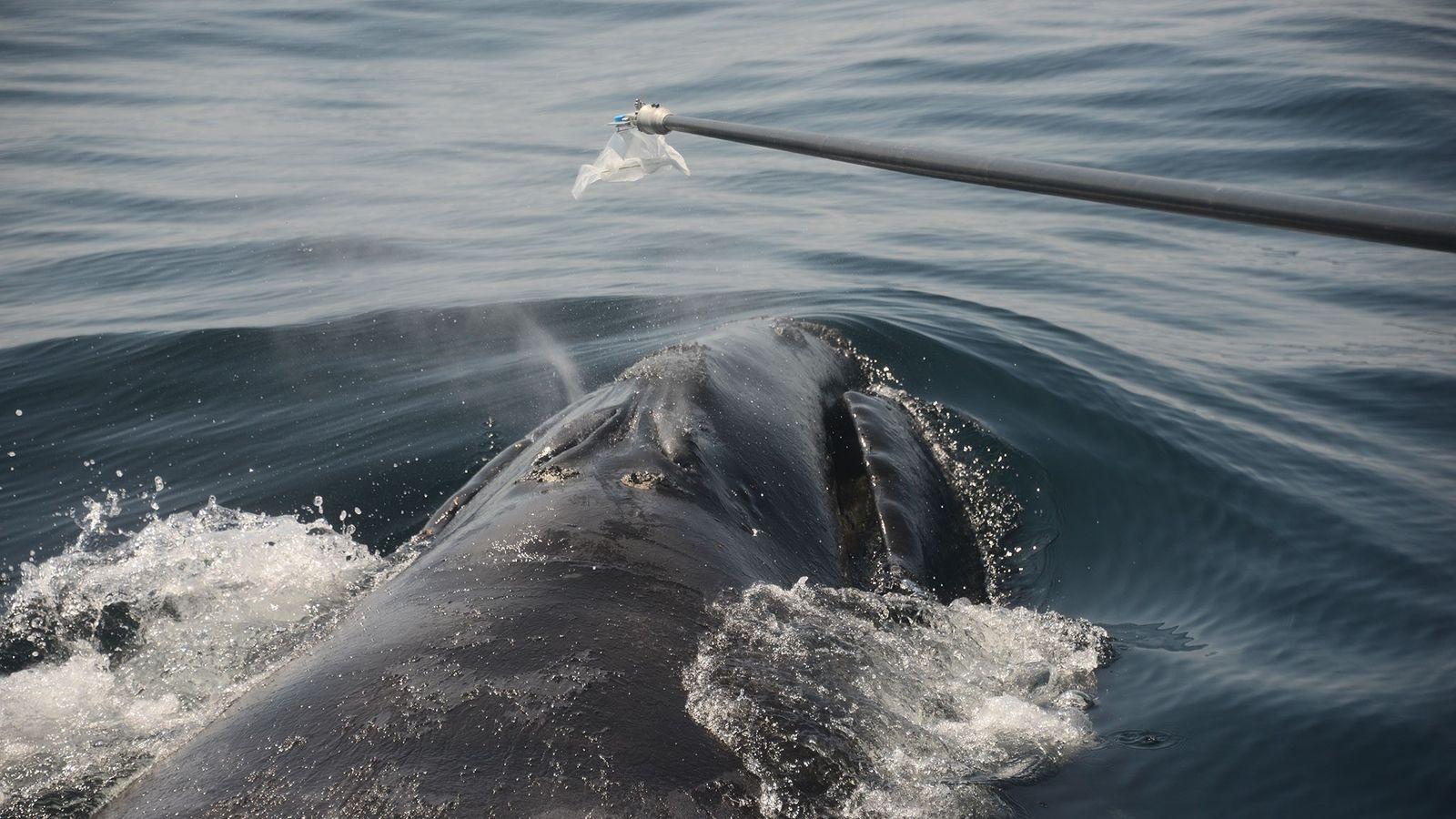 Este dispositivo único, semelhante ao bafômetro, pode coletar o muco de baleia, permitindo a realização de ...