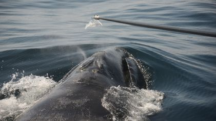 """Como estudar baleias sob risco de extinção? Encontre o """"catarro"""" delas"""