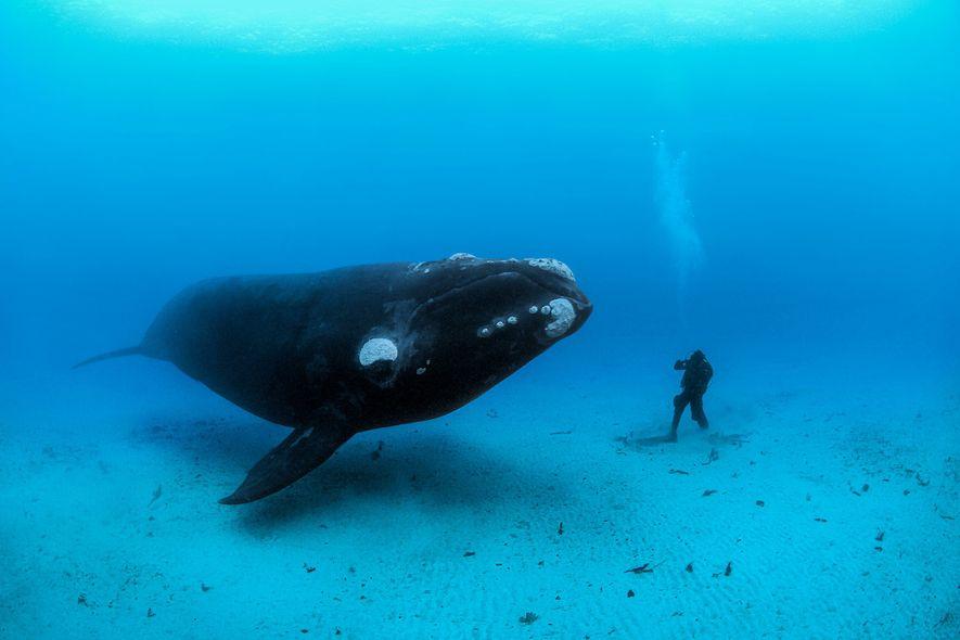 Uma baleia-franca-austral encontra um mergulhador no fundo do mar arenoso das ilhas Auckland, Nova Zelândia. Os ...
