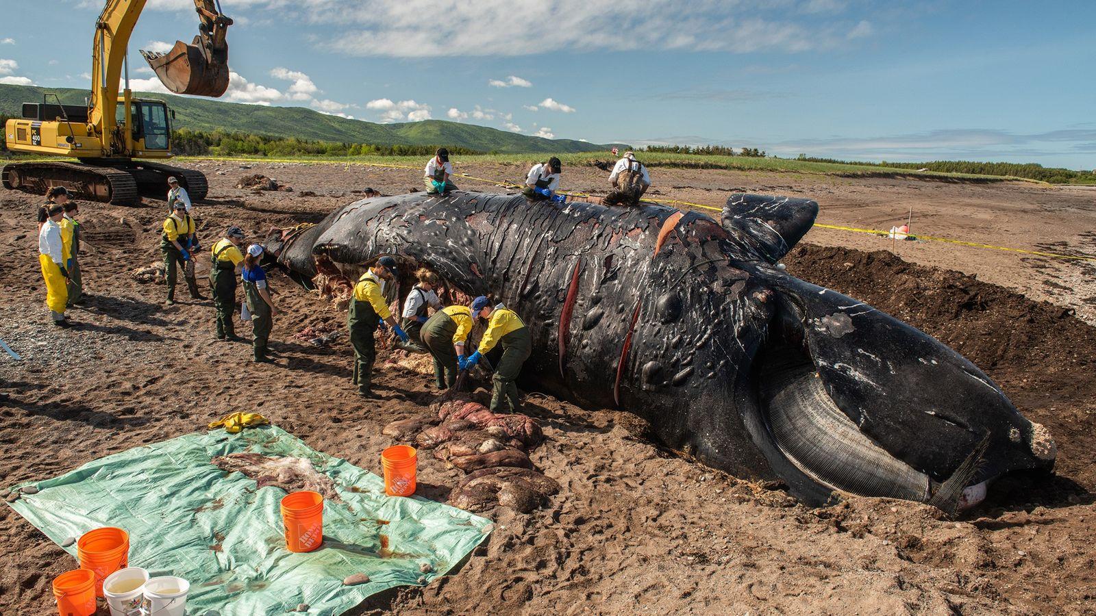 Pesquisadores fazem a necropsia em Punctuation, uma baleia-franca-do-atlântico-norte fêmea que recebeu esse nome devido às cicatrizes ...
