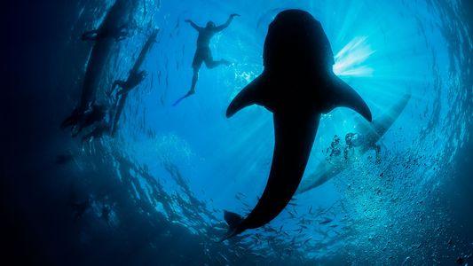 Dentro do mundo caótico do turismo de tubarões-baleia