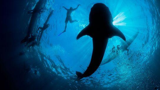 Observação de tubarões-baleia em Oslob, uma atração de turismo popular nas Filipinas, é facilitada pela alimentação ...