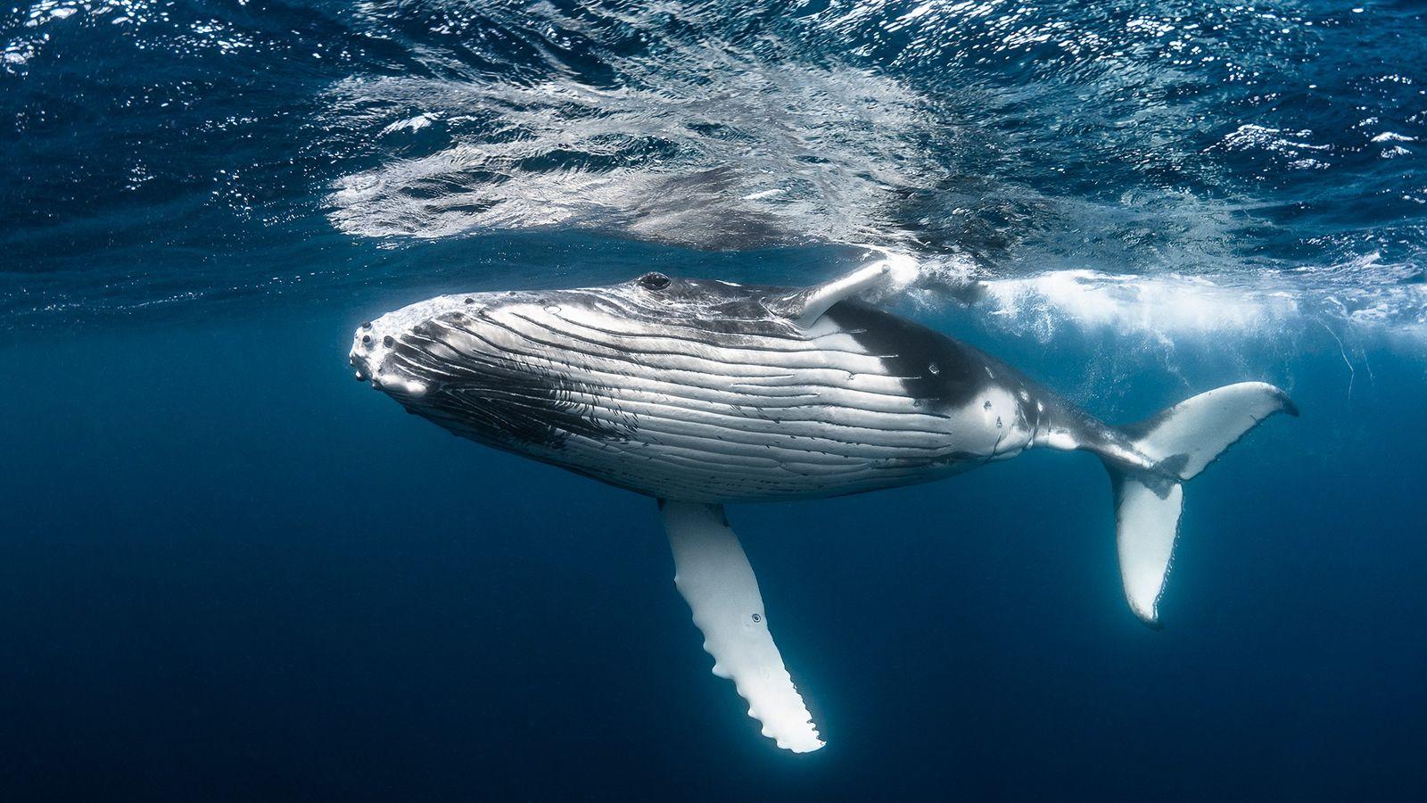 Esta jovem baleia jubarte vale milhões de dólares ao longo de sua vida, apenas por sua ...