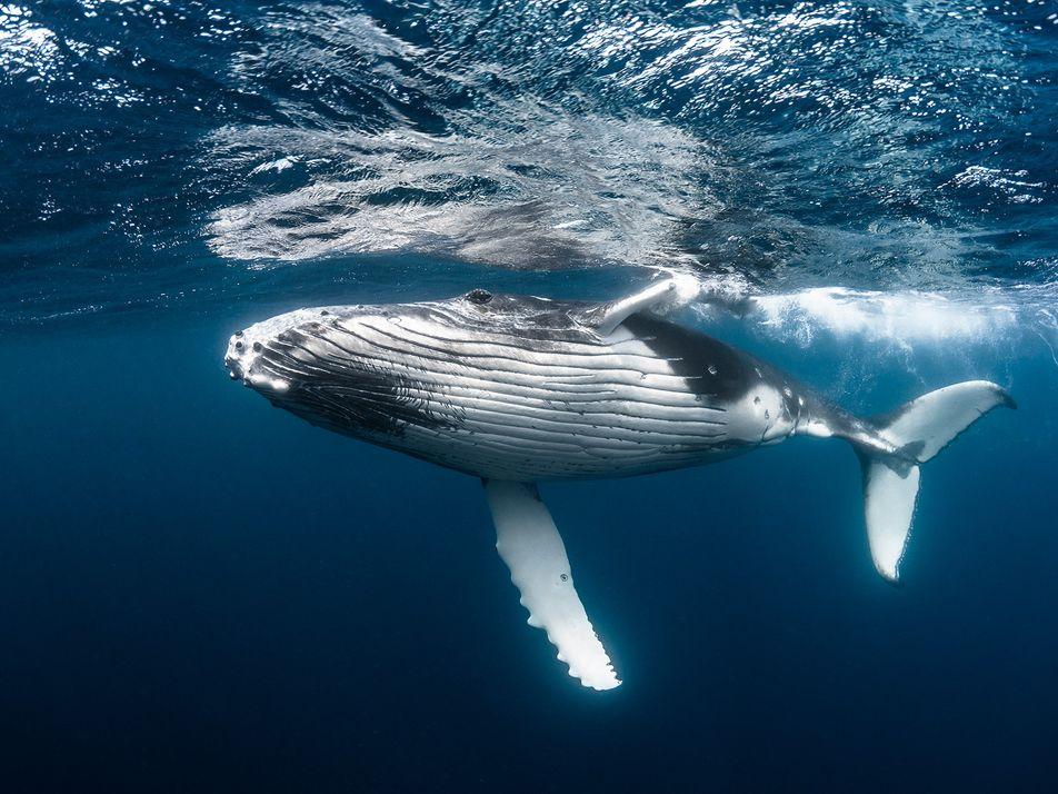 Quanto vale uma baleia?