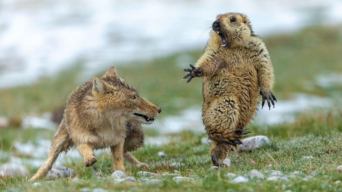 Esta rara imagem do momento que uma raposa-do-himalaia ataca uma marmota deu ao fotógrafo chinês Yongqing ...