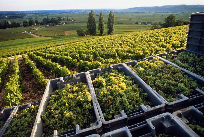 Na Borgonha, as uvas chardonnay são colhidas várias semanas antes do que algumas décadas atrás.