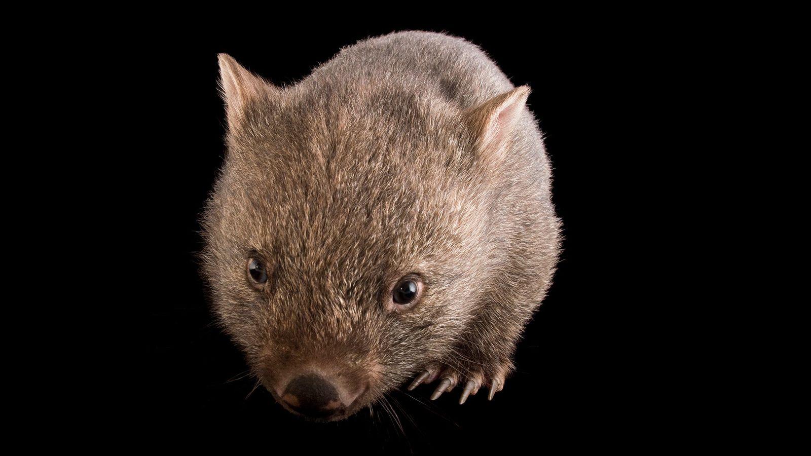 Um vombate jovem e comum (Vombatus ursinus tasmaniensus) no Santuário de Healesville. Esses animais produzem fezes ...