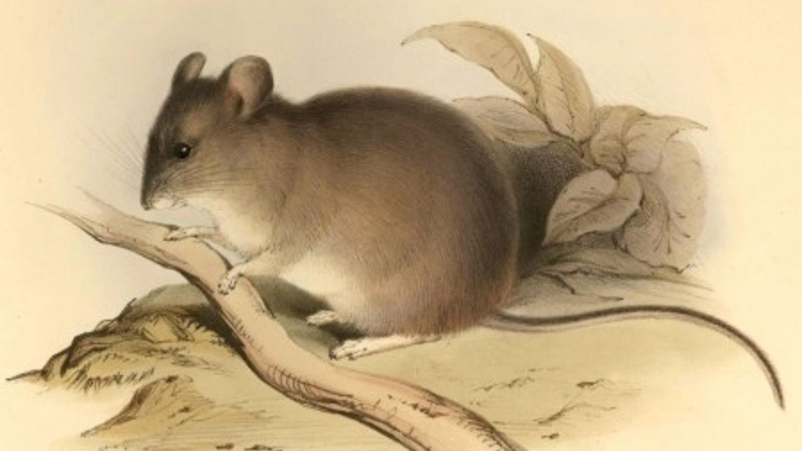 O camundongo da espécie Phyllotis xanthopygus pode sobreviver dentro de variações de altitudes superiores a 6,1 ...