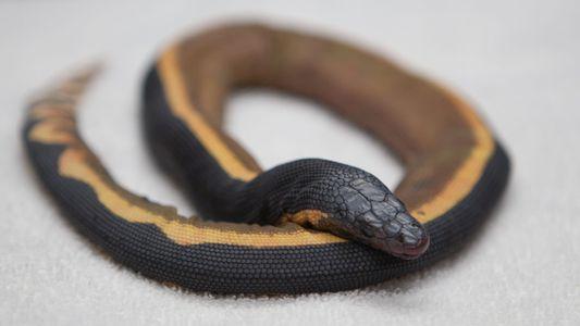 Serpente marinha venenosa é encontrada na Califórnia – como ela chegou lá?