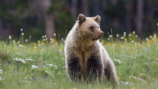 Um urso-pardo em um campo de flores silvestres no Parque Nacional de Yellowstone, em Wyoming.