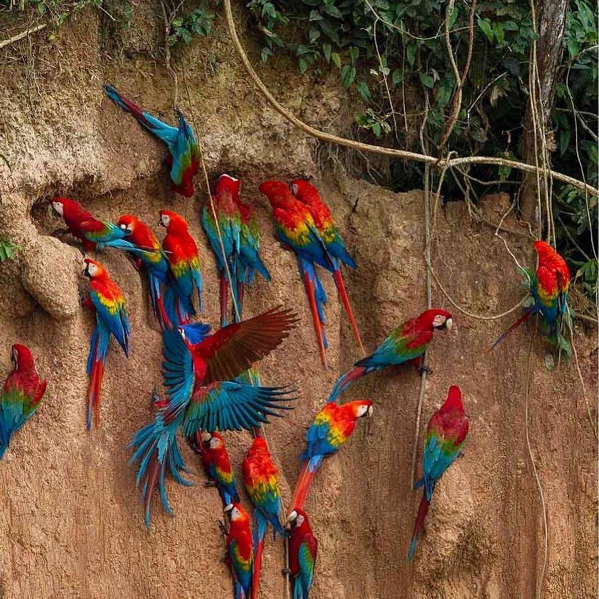 """""""Sem palavras para descrever a emoção de presenciar essa cena. As araras nos paredões de Tambopata ..."""