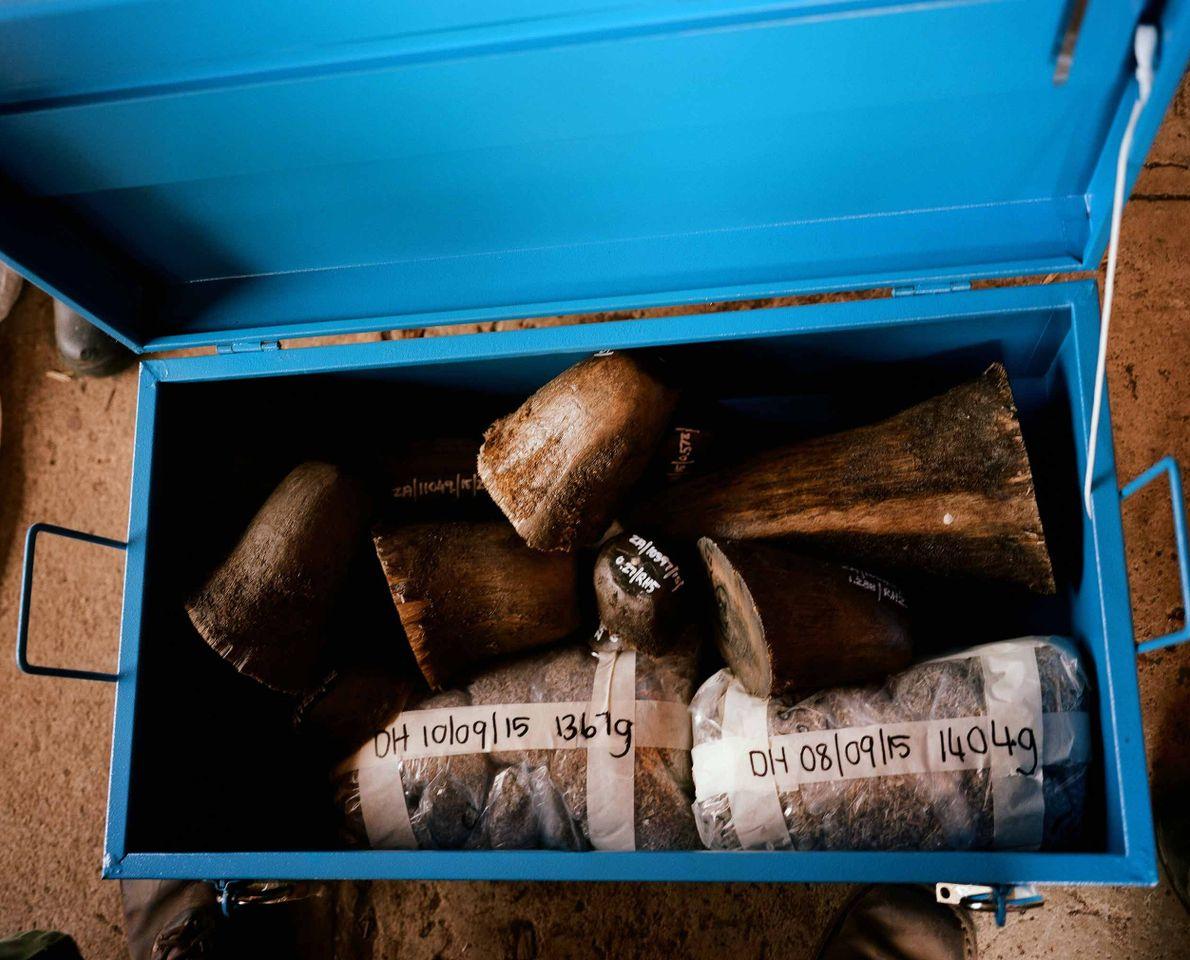 Os chifres de rinocerontes e suas aparas são armazenados em um cofre. O comércio ilegal está ...