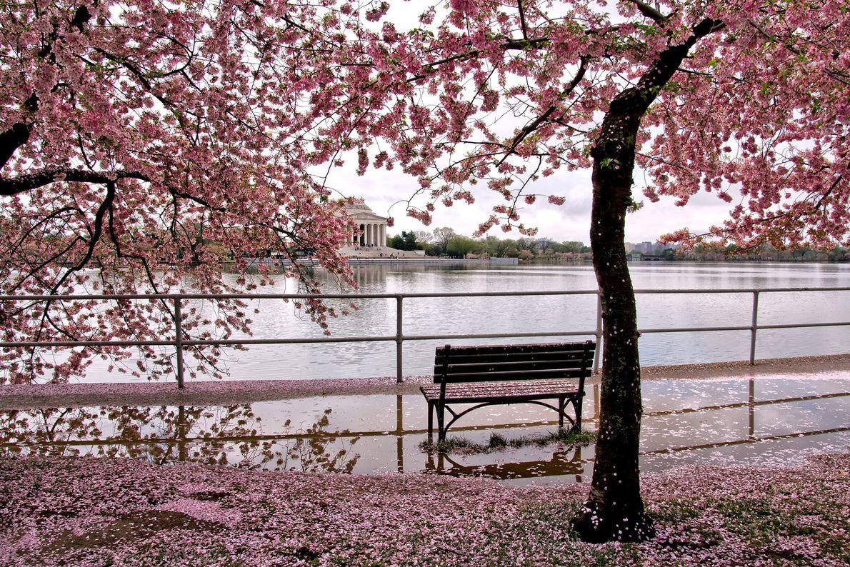 A cidade de Washington D.C. tem 12 variedades diferentes de cerejeiras ornamentais ou de floração nos ...