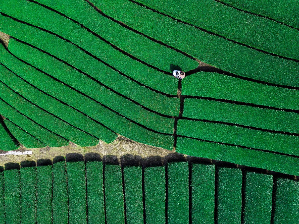 Visite as verdejantes plantações de chá nos montes ao sul de Quioto para provar o matcha ...