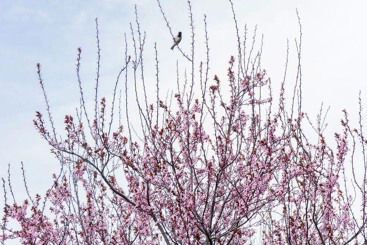 A cidade de Nova York recebe a primavera com o retorno dos pássaros migratórios e cerejeiras ...