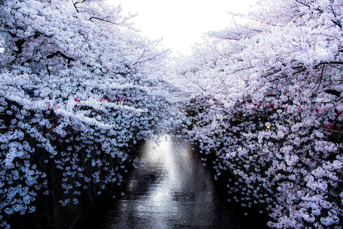 Antes da celebração da flor de cerejeira no Japão, a flor de ameixeira, sua irmã, roubou ...