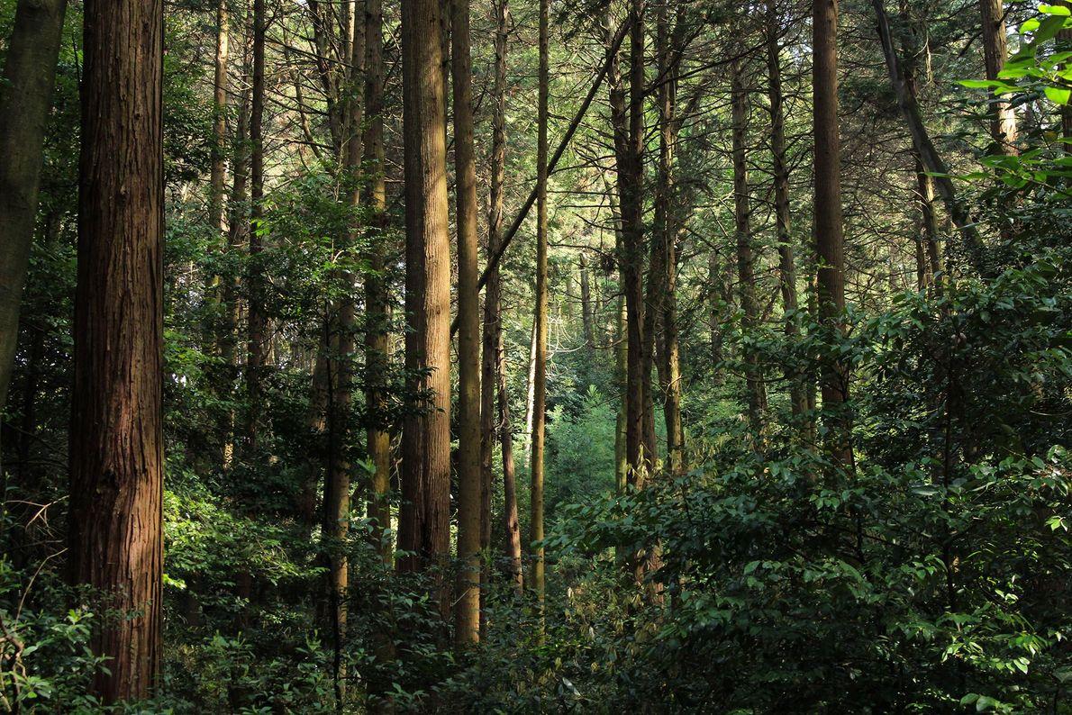 A luz da manhã penetra pela floresta do sagrado Monte Inari. Um túnel de centenas de ...