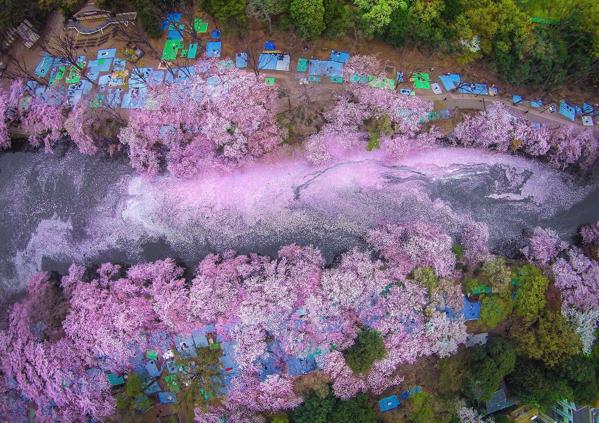 Harmonizando três forças concorrentes da natureza, Watanabe cria uma paisagem etérea do Lago Kawaguchi, das flores ...