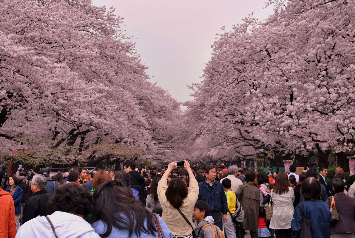 Moradores locais e turistas aglomerando-se no Parque Ueno para apreciarem as cerejeiras em plena floração. Attard ...