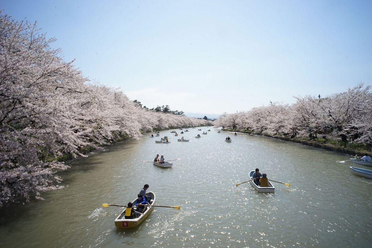 As cerejeiras às margens do Rio Iwaki conferem maior profundidade a uma casual atividade de remo. ...