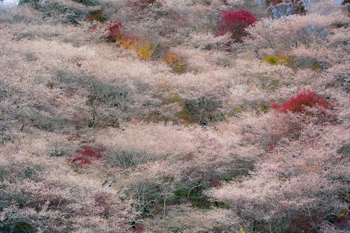 Embora as cerejeiras sejam conhecidas pelas florações na primavera, duas espécies, a Shikizakura e a Fuyuzakura, ...