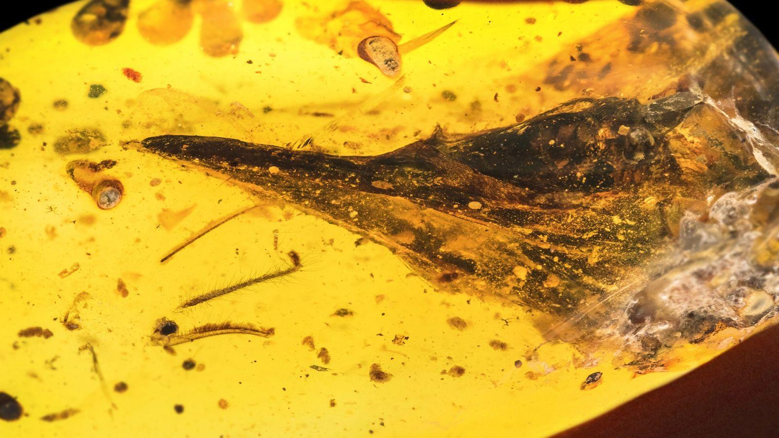 Um pedaço de âmbar com menos de quatro centímetros de largura conserva um crânio inteiro de ...