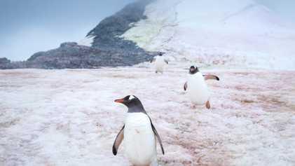 Micróbios misteriosos tornam o gelo polar cor-de-rosa. Saiba como