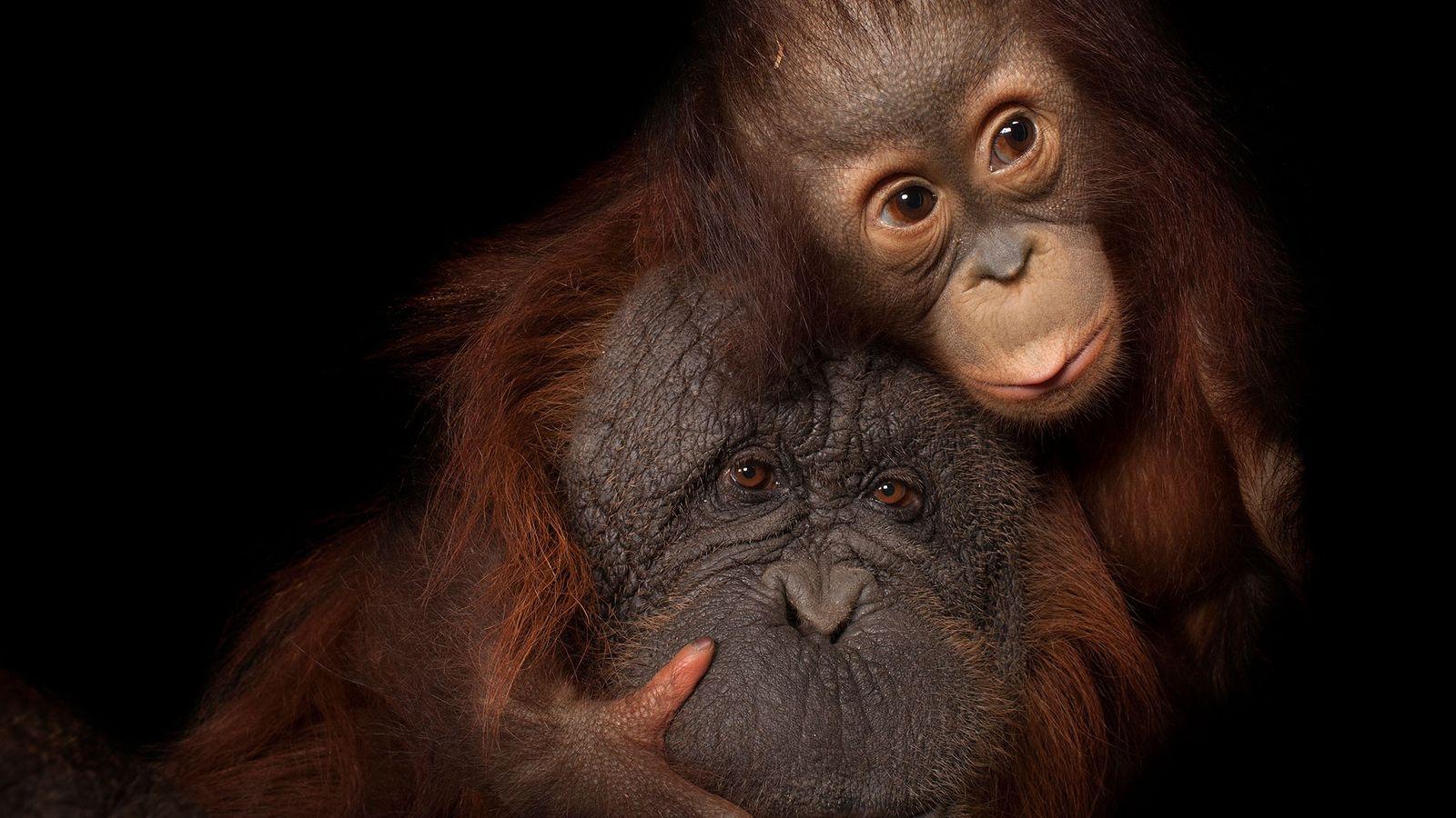 Filhote de orangotango-de-bornéu, espécie ameaçada, com sua mãe adotiva.