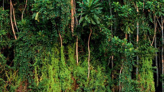 Árvores na floresta tropical perto de Rabi, Gabão. O Gabão mantém preservadas quase todas as suas ...