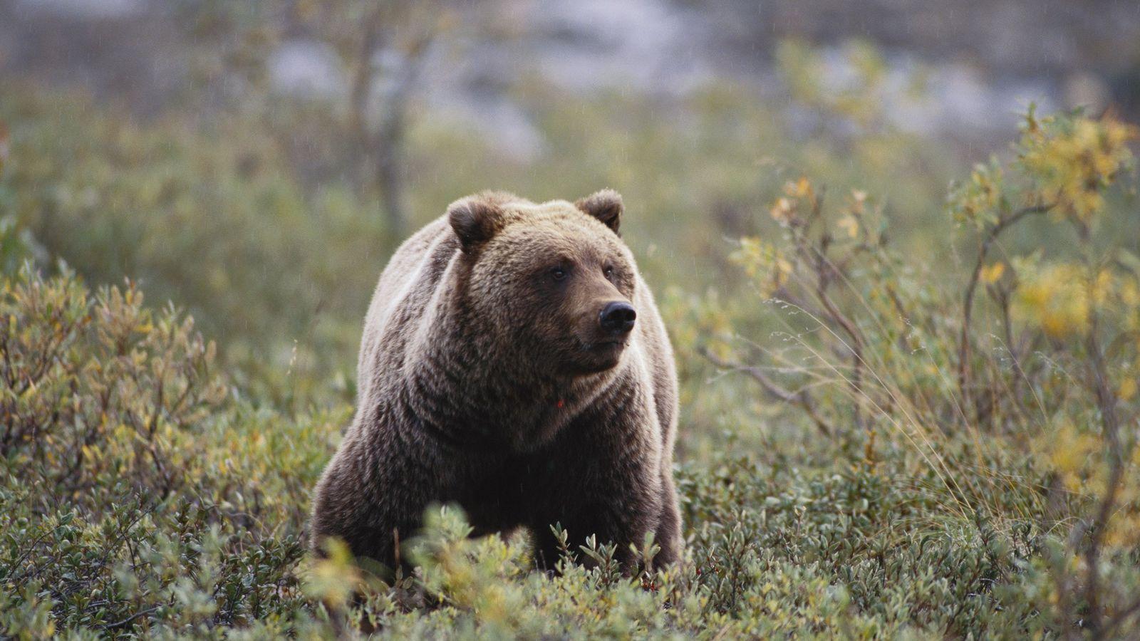 Um urso-pardo, também conhecido como urso-pardo da América do Norte, fareja o vento em busca de ...