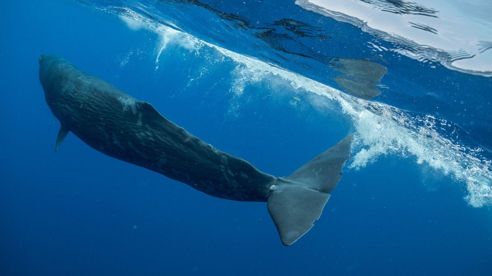 Digit, uma jovem baleia cachalote próxima à nação de Dominica, no Mar do Caribe, passou três ...