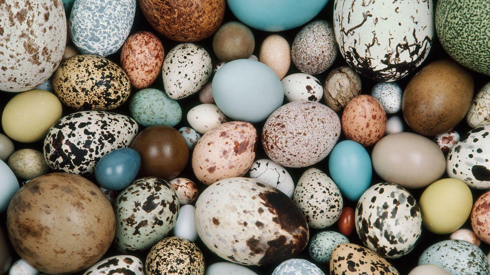 Ovos de aves modernas possuem uma grande variedade de tons, como essas amostras do acervo da ...