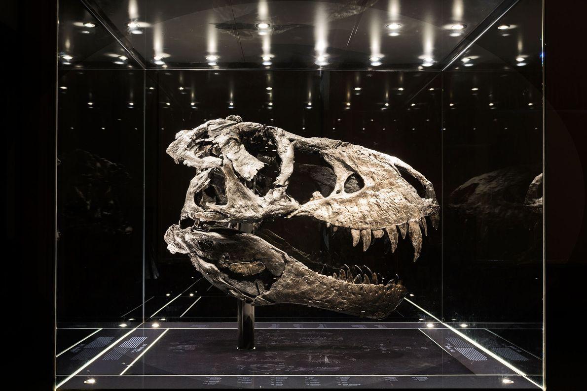 Este crânio, quase todo de um negro intenso, pertence ao espécime mais completo de Tyrannosaurus rex ...
