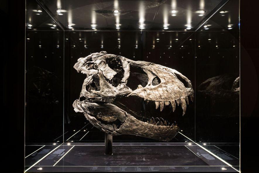 Este crânio, quase todo de um negro intenso, pertence ao espécime mais completo de Tyrannosaurus rex …