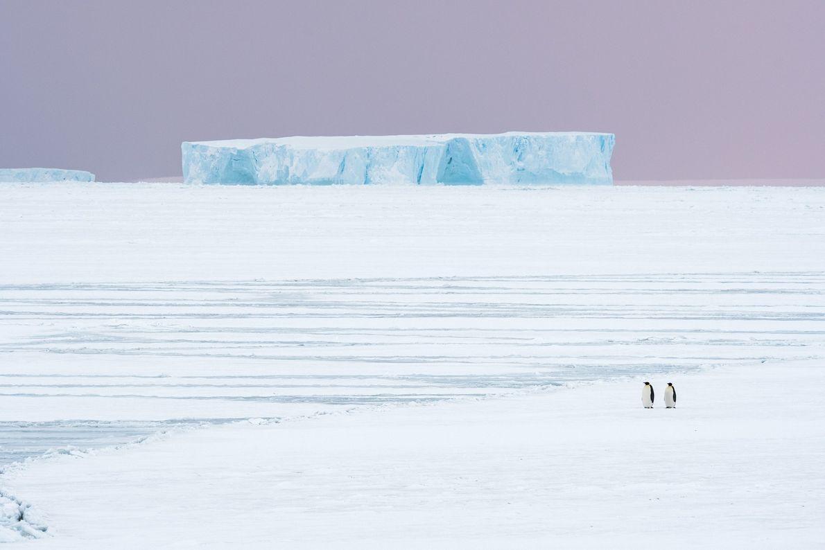 No outono, os pinguins-imperadores começam sua jornada de cerca de 10 quilômetros do oceano até o ...