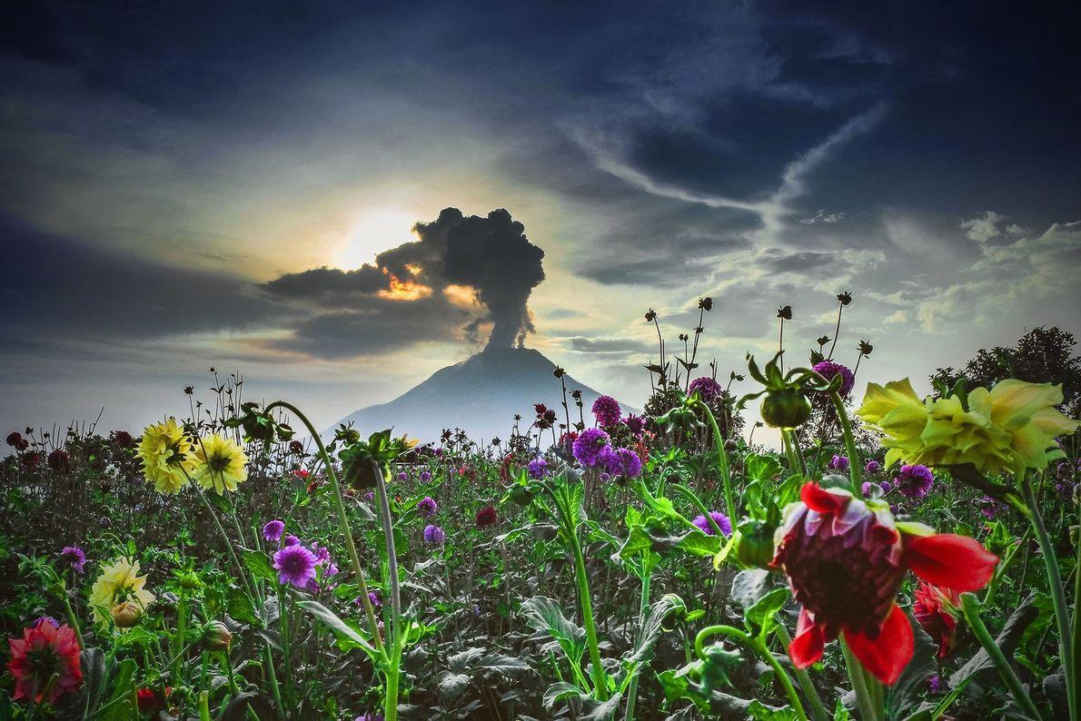 O vulcão Sinabung, no oeste da Indonésia, adormeceu por cerca de 400 anos, antes de acordar ...