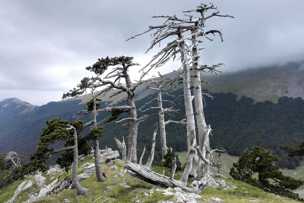 Vários pinheiros de Heldreich, velhos ou mortos, ficam em uma cordilheira no Parque Nacional de Pollino, ...