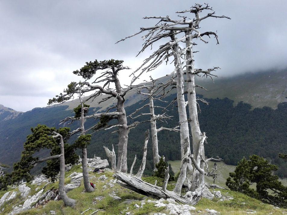 Veja imagens da árvore mais antiga encontrada na Europa