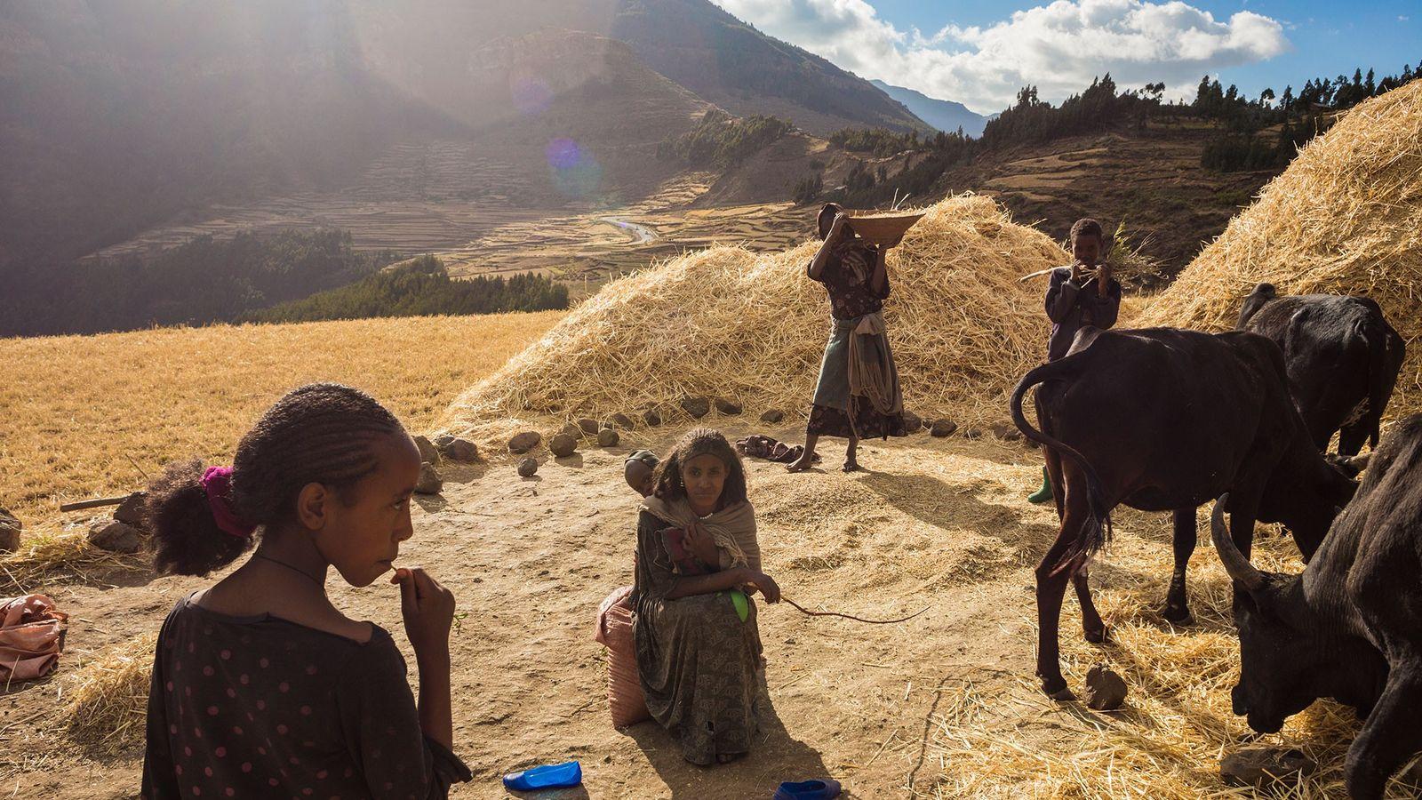 Usando ferramentas de mão e animais de trabalho, uma família colhe trigo nas terras altas da ...