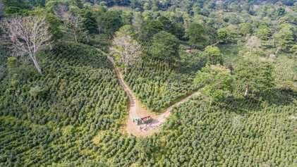 Descubra como o café pode acelerar a recuperação de florestas