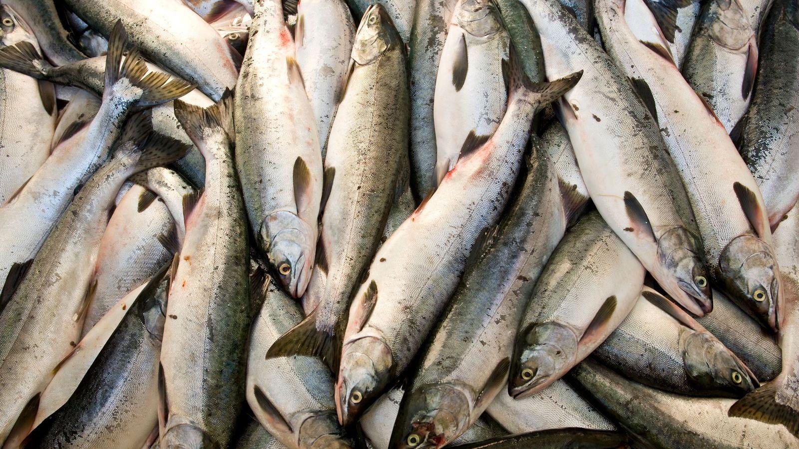 Captura de uma pescaria de salmão rosa.