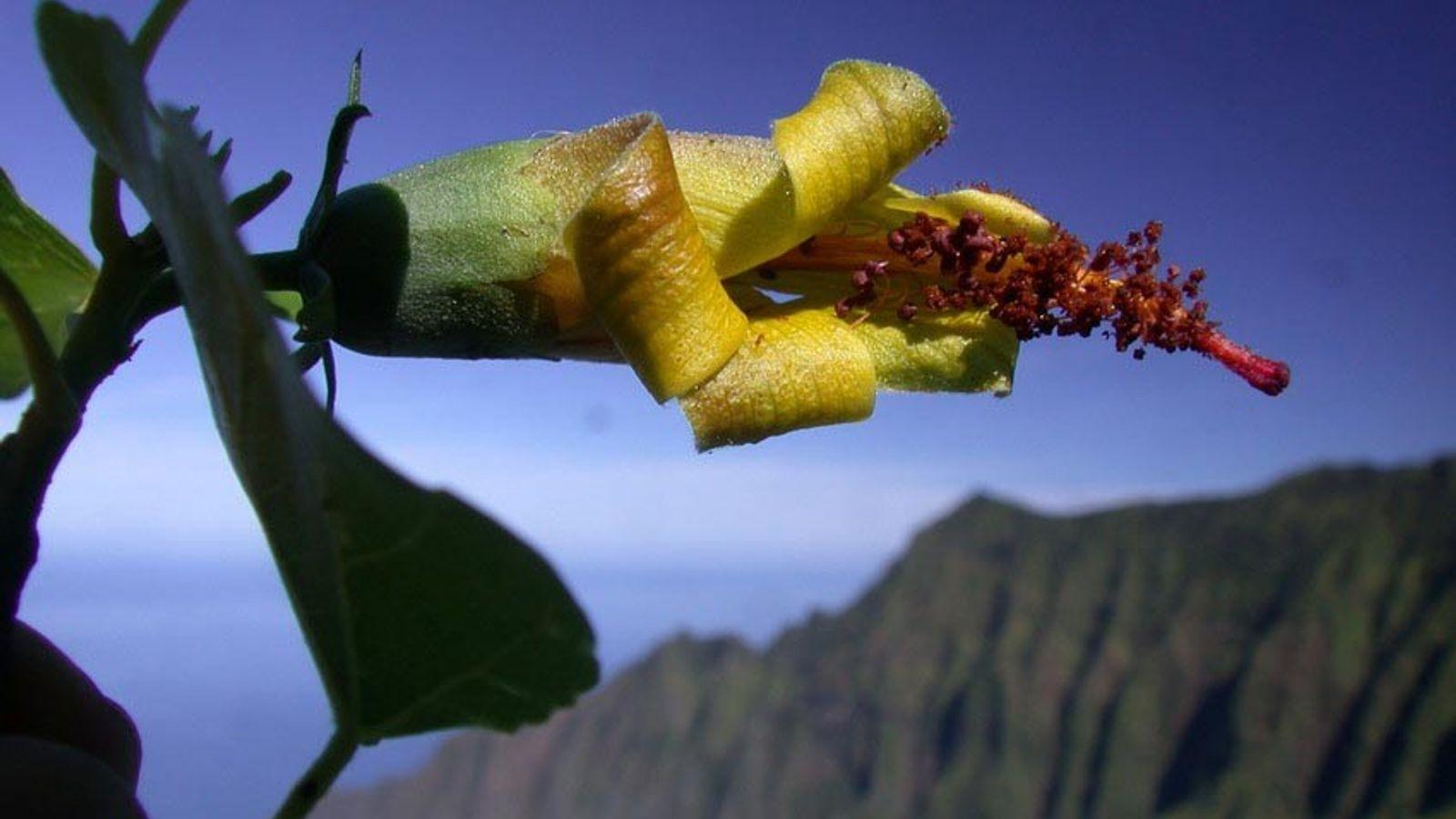 Pesquisadores do Jardim Botânico Tropical Nacional redescobriram a planta nativa havaiana Hibiscadelphus woodii.