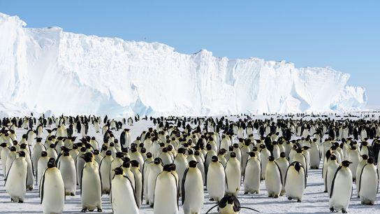 Pinguins-imperadores em pé sobre uma banquisa que acabou de se soltar da Plataforma de Gelo Brunt ...